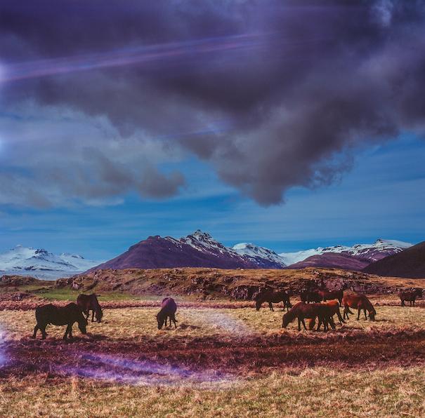 лошади пасутся в Исландии