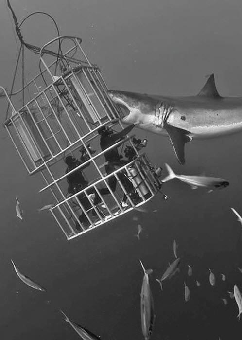 картинка с акулой, кусающей водолазов в клетке